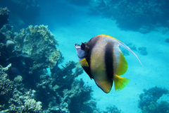 Red sea pennant fish in Red Sea Royalty Free Stock Photography