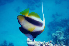 Red sea pennant fish side Stock Photography