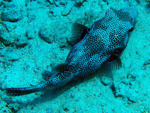 Red Sea Puffer Fish Stock Photography