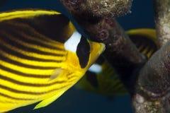 Red sea raccoon butterflyfish stock photo