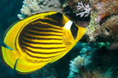 Red sea Raccoon butterflyfish Stock Image
