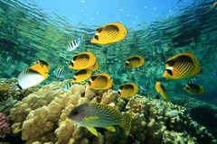Red Sea Raccoon Butterflyfish Royalty Free Stock Photo