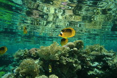 Red Sea Raccoon Butterflyfishes Royalty Free Stock Photos