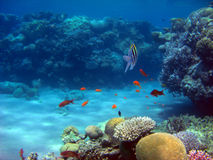 Red Sea Reef. A photograph taken around a Red Sea Reef showing a variety of corals, goldfish and a Sergeant Major Fish Stock Photo