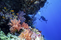 Red Sea Reef with a underwater Photographer. Photographer at a beautiful reef in the red sea Stock Images