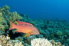 Red sea rock cod fish. Coral reef fish in the Red Sea in clear blue water Stock Photos