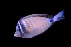 Red Sea sailfin tang  on black background Royalty Free Stock Photography