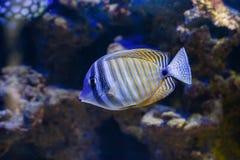 The Red Sea sailfin tang or Desjardin`s sailfin tang Zebrasoma desjardinii royalty free stock image