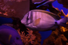 Red Sea sailfin tang Royalty Free Stock Photography