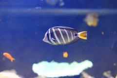 Red Sea sailfin tang Royalty Free Stock Images