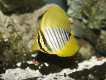 Red Sea Sailfin Tang Fish Stock Image