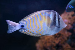 Red Sea sailfin tang, a fish from tropical water of Indian Ocean Royalty Free Stock Image