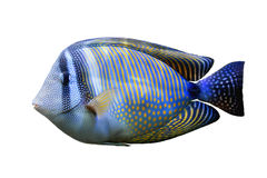 Red Sea Sailfin tang. Isolated on white background royalty free stock photo