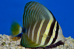 Red Sea sailfin tang Juvenile. Desjardini tang fish in an aquarium with blue background. Zebrasoma desjardinii family Acanthuridae Stock Images