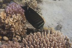 Red Sea Sailfin Tang Over Coral stock images
