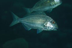 Red sea seabream fish Royalty Free Stock Photo