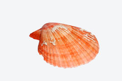 Red sea shell  Stock Photo