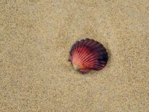 Red Sea Shell Stock Image