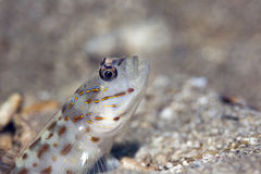 Red sea shrimpgoby Royalty Free Stock Photo
