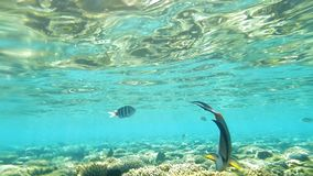 Red Sea Sohal Surgeonfish Eating Coral Reef Underwater. Red Sea, Sohal Surgeonfish Eating Coral Reef Underwater, Slow Motion stock video footage