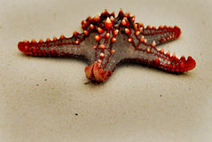 Red sea star #1. Close-up of red sea star laying on beach sand Royalty Free Stock Image