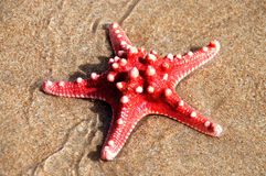 Red sea star  Stock Images