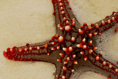 Red sea star #3. Close-up of red sea star laying on beach sand Royalty Free Stock Photo
