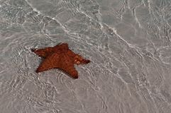 Red sea star in Cuba Royalty Free Stock Photo