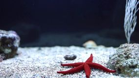 Red Sea Star (Fromia milleporella) Stock Images