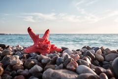 Red sea star on pebble beach Stock Images