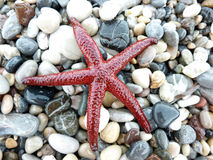 Red sea star on pebbles Royalty Free Stock Images