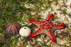 Red sea star and shells Royalty Free Stock Photos