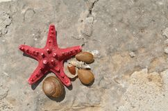Red sea star. With sea snails shells on a rock surface Royalty Free Stock Photography