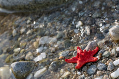 Red Sea star, stone beach, clean water background Stock Photography