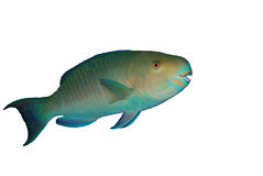 Red Sea Steephead Parrot fish. Isolated over white Royalty Free Stock Photography
