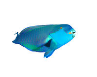 Red Sea Steephead Parrotfish. Steephead Parrotfish (Scarus gibbus) isolated on white background Royalty Free Stock Photo