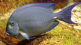Red Sea Surgeon Fish 1 Stock Photo