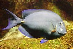 Red Sea Surgeon Fish 3 Royalty Free Stock Photo