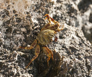 Red Sea swimming crab on rocks Royalty Free Stock Images