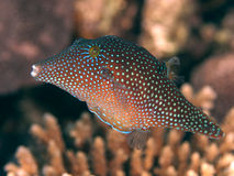 Red sea toby. Coral fish red sea toby Stock Photos