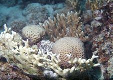Red Sea underwater coral  Royalty Free Stock Photo