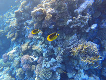 Red sea underwater coral reef Stock Photo