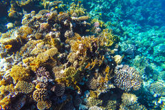 Red sea underwater coral reef Stock Photography