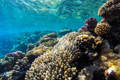 Red sea underwater coral reef Royalty Free Stock Image