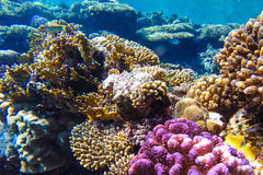 Red sea underwater coral reef Royalty Free Stock Photography