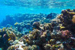 Red sea underwater coral reef Royalty Free Stock Photo