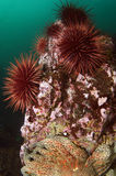 Red Sea Urchins Stock Images