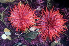 Red Sea Urchins Royalty Free Stock Photography