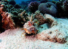 Red Sea Walkman Filamented Devilfish. Uses pectoral rays to walk on sand bed Royalty Free Stock Photography