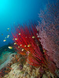 Red Sea Whip and pink Sea Fan. Wide-angle portrait of a small school of Damselfish hiding in a bright red sea whip, with a pink sea fan in the foreground and a Stock Photos